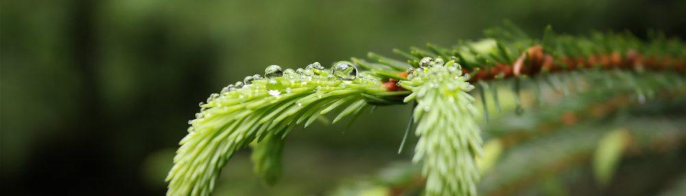 Fichtenspitzen – zartes Grün